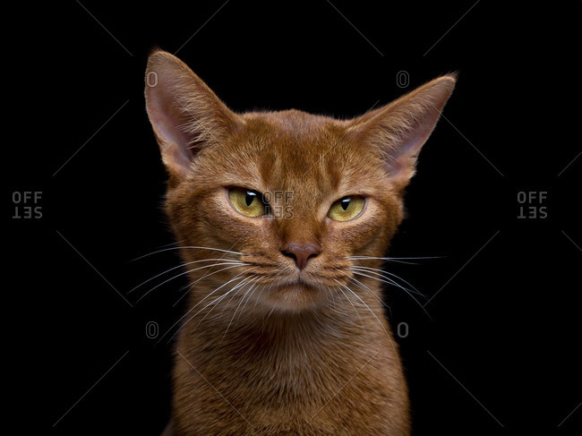 Close up of an orange cat with yellow eyes