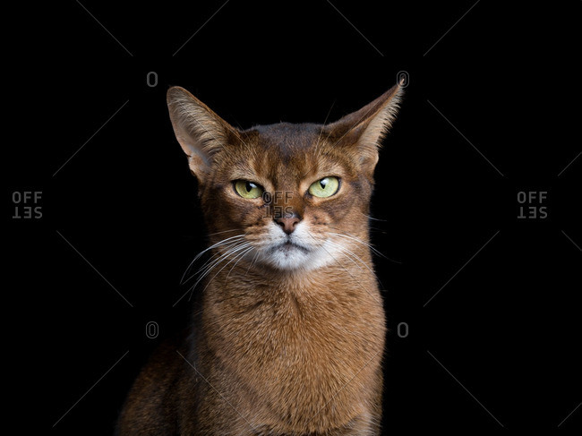 Portrait of an Abyssinian cat