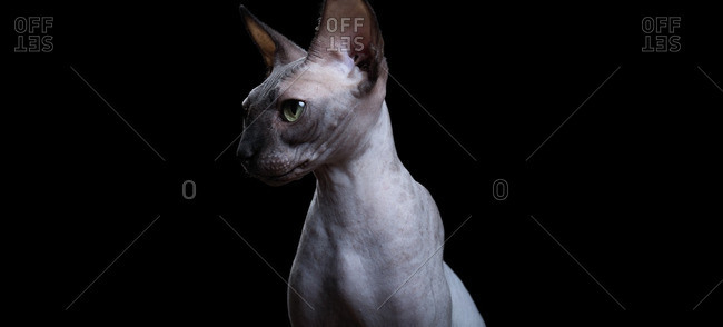 Side view of a Canadian Sphynx