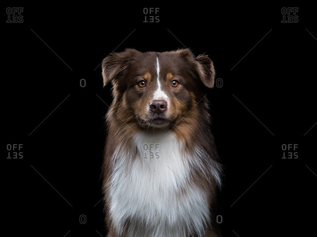 Brown and white Australian Shepherd