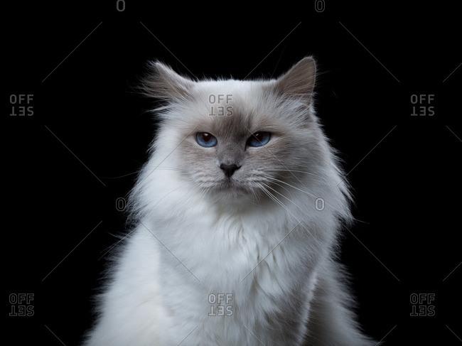 Portrait of a fluffy Birman cat with blue eyes