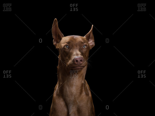 Portrait of a Pharaoh Hound dog