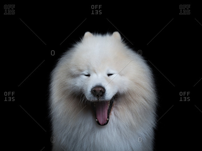 Yawning Samoyed dog