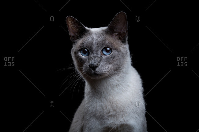 Close up of a gray Siamese cat