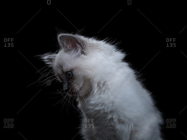 Ragdoll kitten on a black background