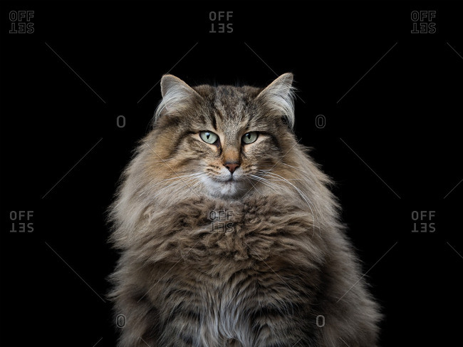 Norwegian Forest cat on a black background