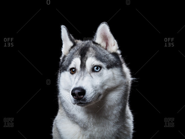 Alaskan Malamute on a black background