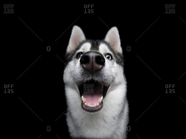 Close-up of an Alaskan Malamute on a black background