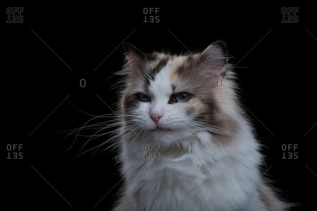 Ragdoll cat on a dark background