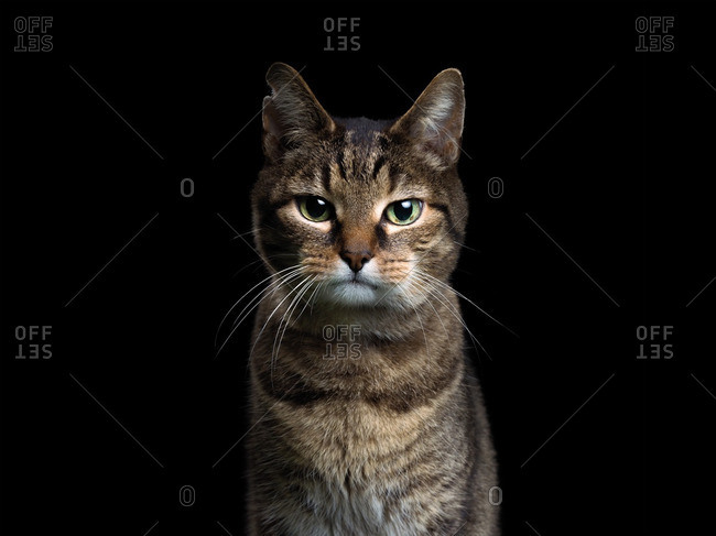 shelter cat on a black background