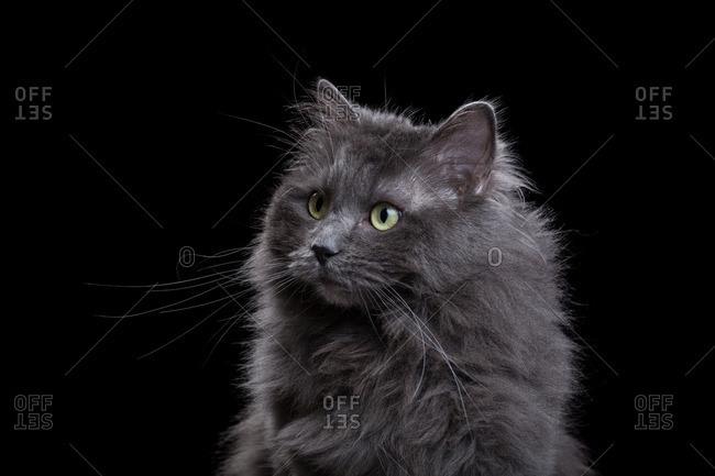 Gray Ragdoll cat on a dark background