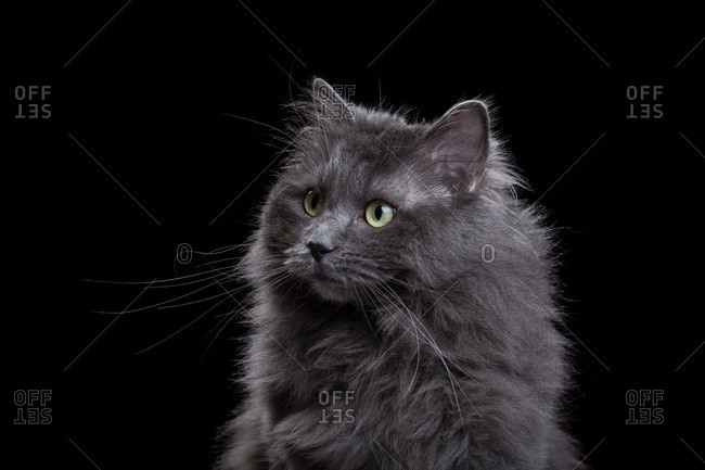 Gray Ragdoll cat on a dark background