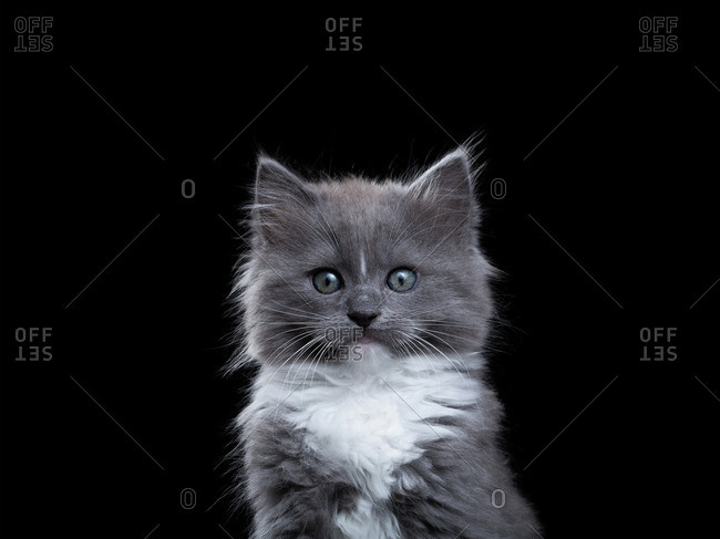 Gray Ragdoll kitten on a black background