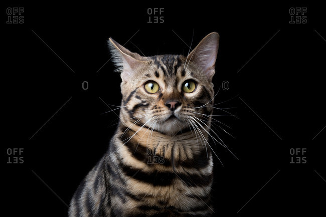 Domestic cat on a black background