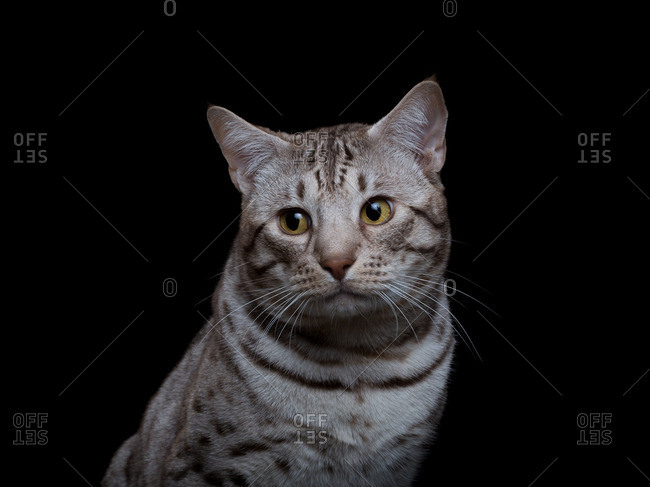 Ocicat on a black background