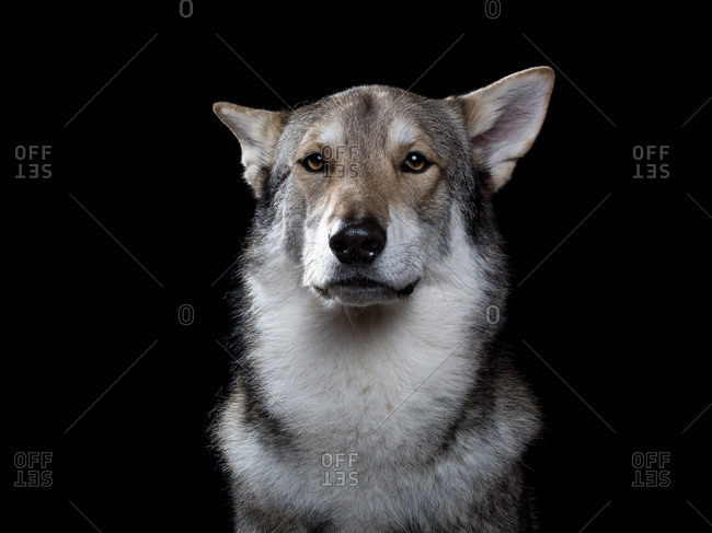 Wolfdog on a dark background