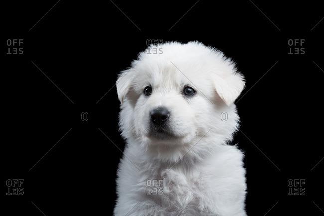 Berger Blanc Suisse puppy on a dark background