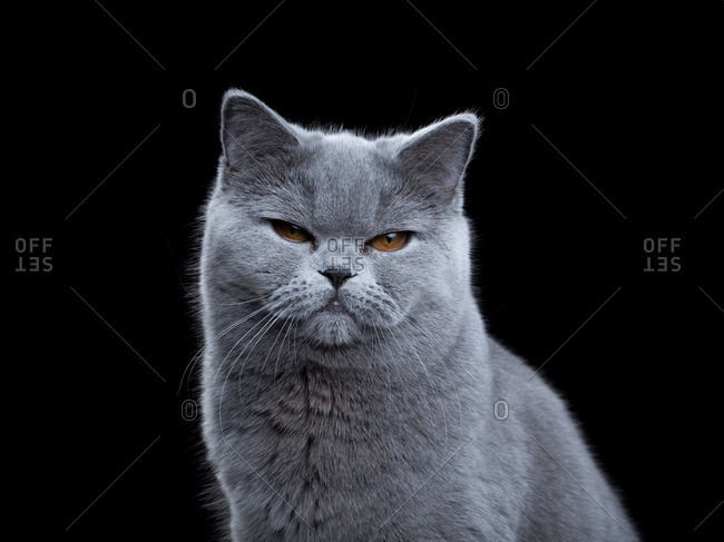 British Shorthair cat on a dark background