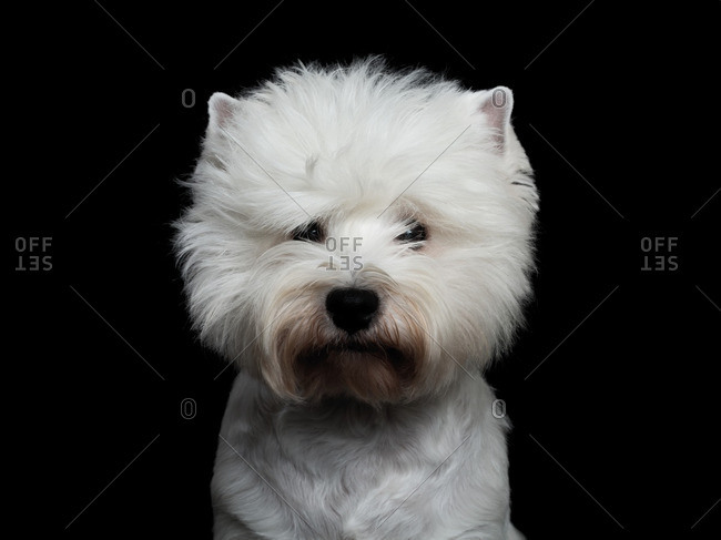 West Highland Terrier on a black background