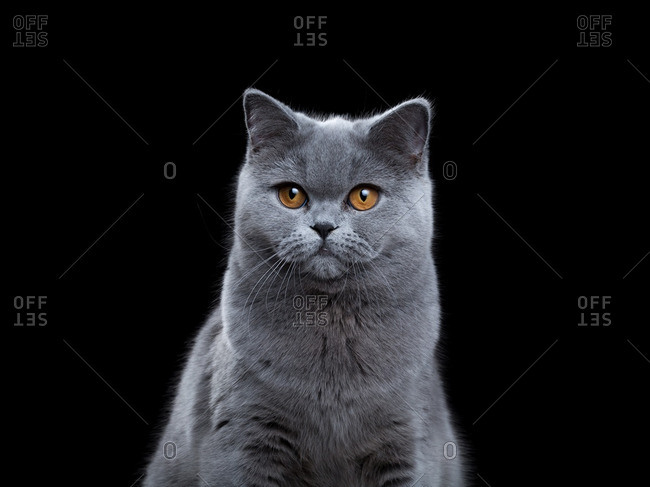 British Shorthair cat on a black background