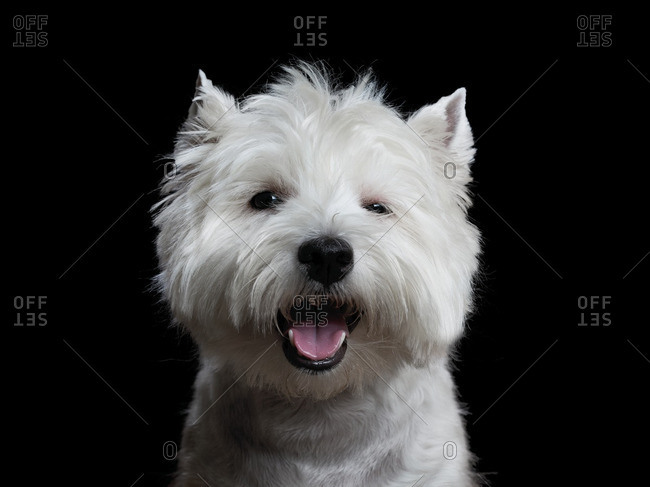 West Highland Terrier with her mouth open