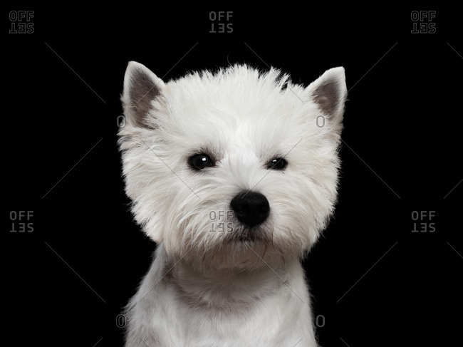 West Highland Terrier on a dark background