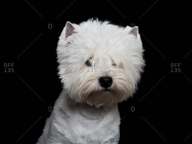 Inquisitive West Highland Terrier
