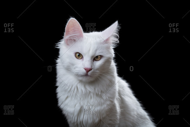 Turkish Angora cat on a dark background