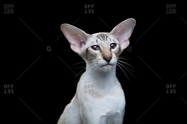 Siamese cat on a black background