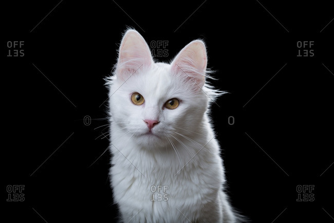 Turkish Angora cat on a black background