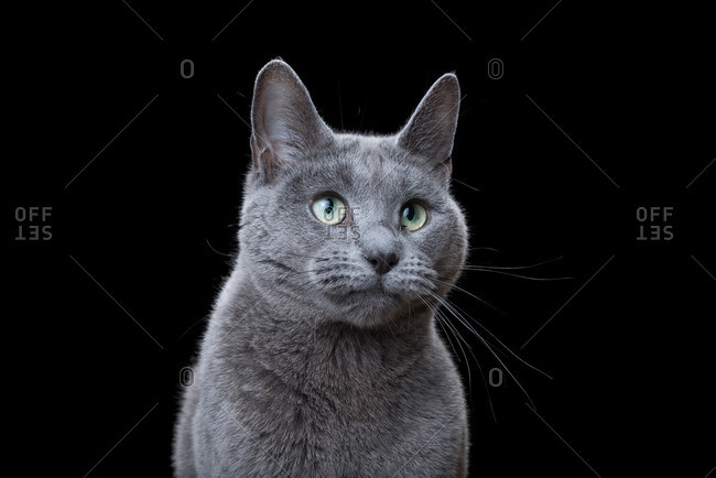 Russian Blue cat on a dark background
