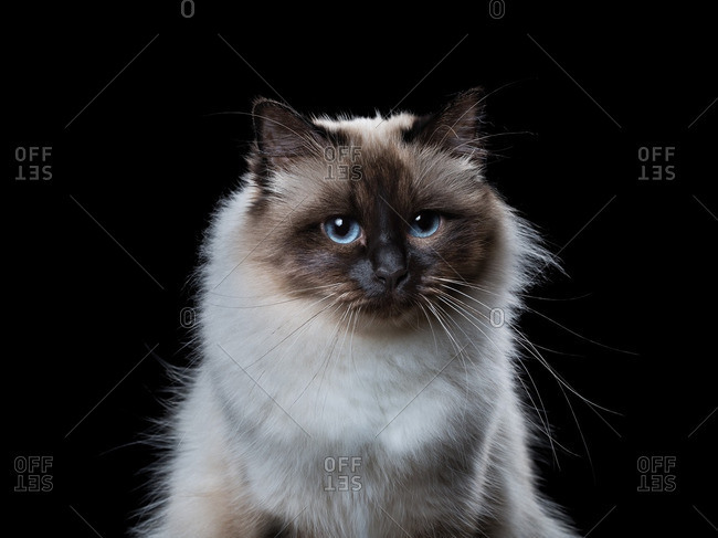 A seal point Birman