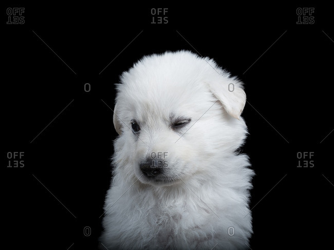 Berger Blanc Suissepuppy on a black background
