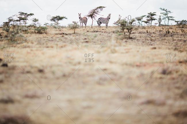 Two zebras in Nairobi, Kenya