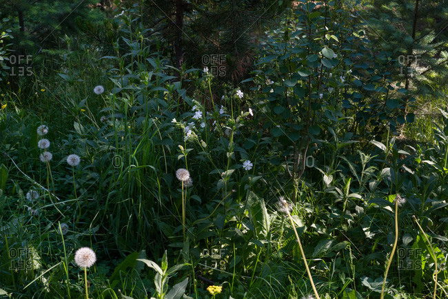 Dandelions in a forest