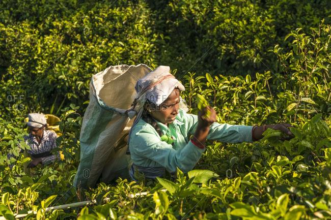 Sri Lanka - January 28, 2016: Tea pickers in Southern Highlands, Sri Lanka