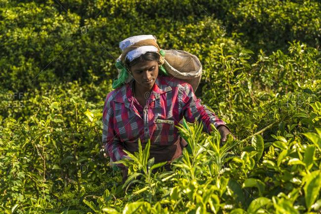 Sri Lanka - January 28, 2016: Tea picker in Southern Highlands, Sri Lanka