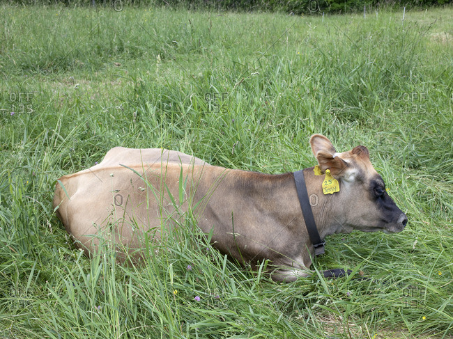 Cow lying down in a pasture