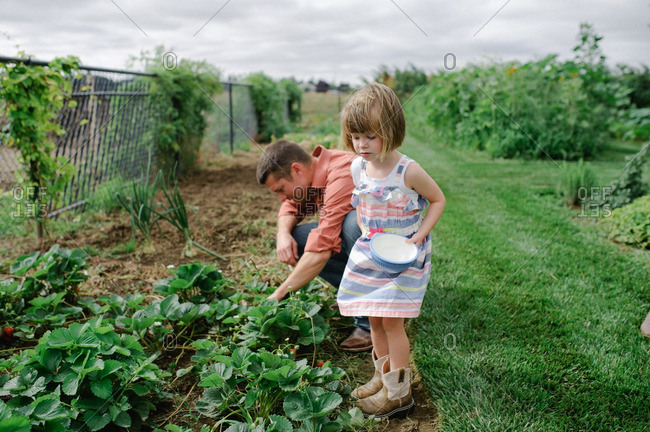 Father and daughter picking strawberries in garden