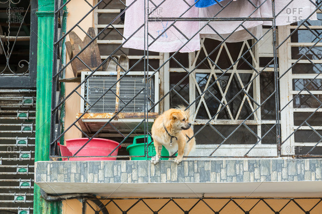 April 15, 2016: Dog on balcony in Havana, Cuba