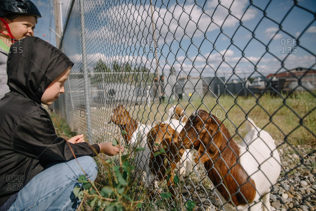 Two children feeding goats through a chain-link fence