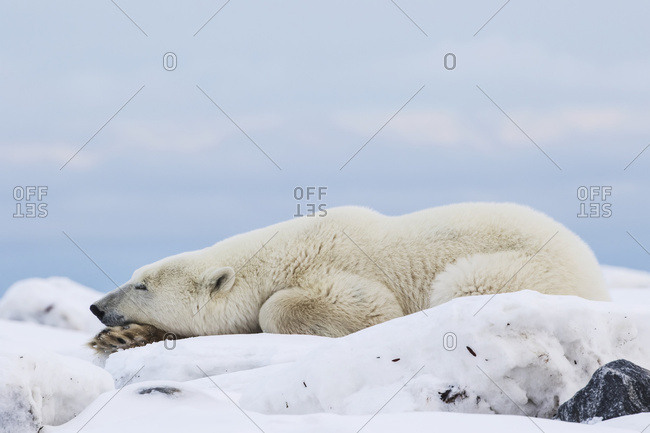 Polar bear (ursus maritimus) lying down on the Hudson Bay coastline