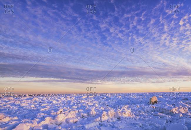 Polar bear (ursus maritimus) along the Hudson Bay coast at sunset