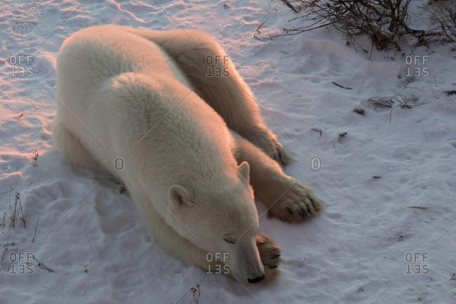 Polar bear (ursus maritimus) sleeping in the morning light, near Churchill