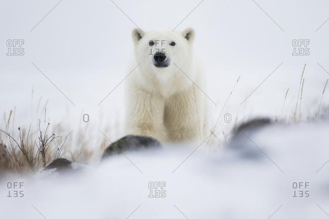 Polar bear (ursus maritimus) in a blizzard