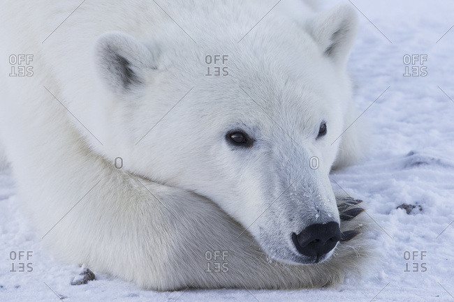 Close up of a polar bear (ursus maritimus)