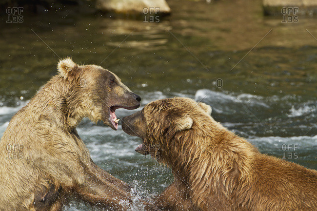 Brown bears (Ursus arctos) fighting in Brooks River while fishing for sockeye salmon, Katmai National Park and Preserve, Southwest Alaska