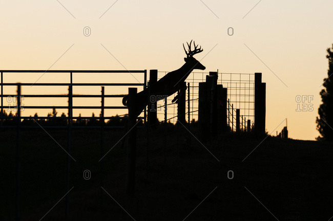 White-tailed buck (Odocoileus virginianus) jumps cattle fence