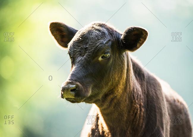 Free range angus calf
