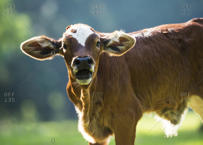 Herford calf bawls for it's mother